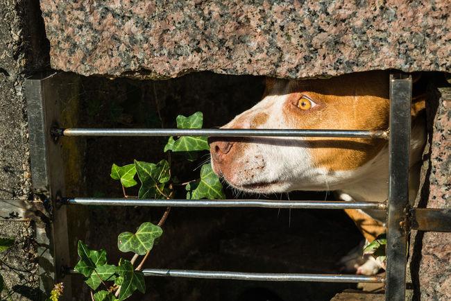 Animal Animal Love Animal Photography Animal_collection Animals Beautiful Animals  Bullterier Bullterrier Close Dog Dog Love Dogs Dogslife Dog❤ EyeEm Animal Lover Grad One Animal Pitbull Stop Violence