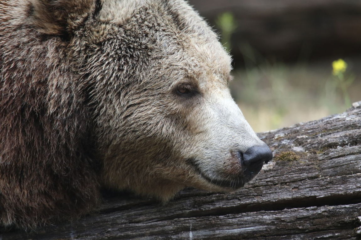 Animal Themes Animal Wildlife Animals In The Wild Bear Bear Head Close-up Day Mammal Nature No People One Animal Outdoors
