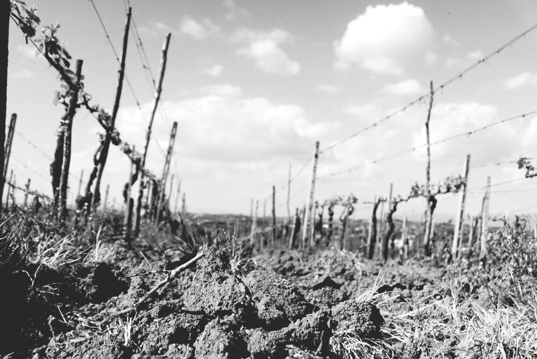 Sun Sole Sunny Italia Italy Wine Vino Vinonobile Montepulciano Vineyard Vigneto Nuvola Clouds Sky Skyporn Cielo Terra  Row Lines