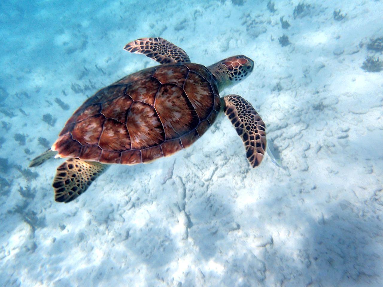Turtle Sea Turtle Underwater Schorcheln Carretta Carretta Reptile Nature Carribean Sea Little Curacao First Eyeem Photo