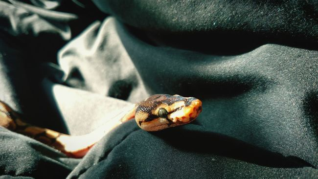 Charlotte The Ball Python Spyder Ball Python Baby Snake