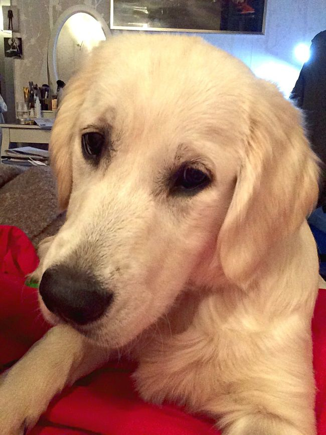 Golden Retriever EyeEm Animal Lover Ilovemydog Puppy❤ Beautiful Im Beautiful Playing With The Animals NewDog Eyes