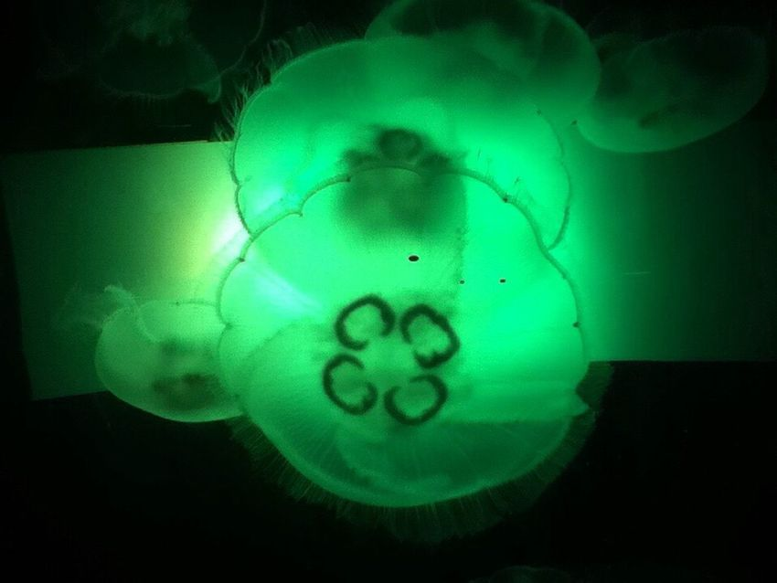 Jellyfish MoonJellies Marine Life Medusa Nature Aquarium Exhibit