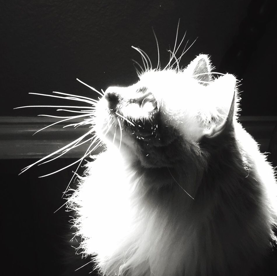 One Animal Animal Themes Mammal Close-up Pets No People Feline Low Angle View Domestic Animals Cat Cats Blackandwhite Black And White Blackandwhite Photography