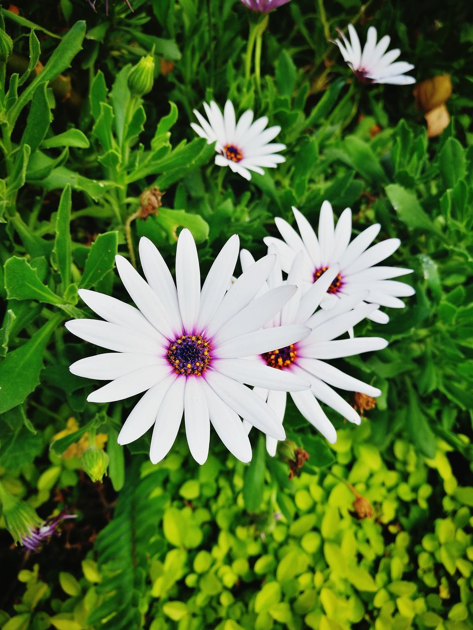 flower, petal, nature, freshness, growth, beauty in nature, fragility, flower head, plant, white color, day, high angle view, outdoors, blooming, pollen, no people, green color, osteospermum, leaf, close-up, animal themes