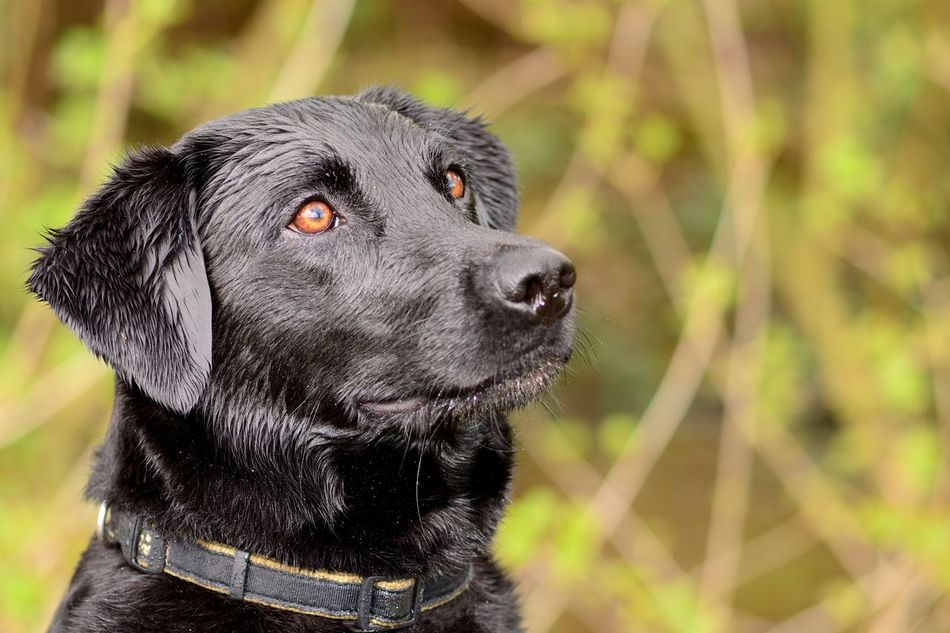 Alertness Animal Themes Black Labrador Check This Out Close-up Cute Day Dog Eye4photography  EyeEm Best Shots EyeEm Nature Lover Focus On Foreground Headshot Labrador Labrador Retriever Nature Nature Photography Nature_collection No People One Animal Outdoors Pets Portrait Selective Focus Taking Photos