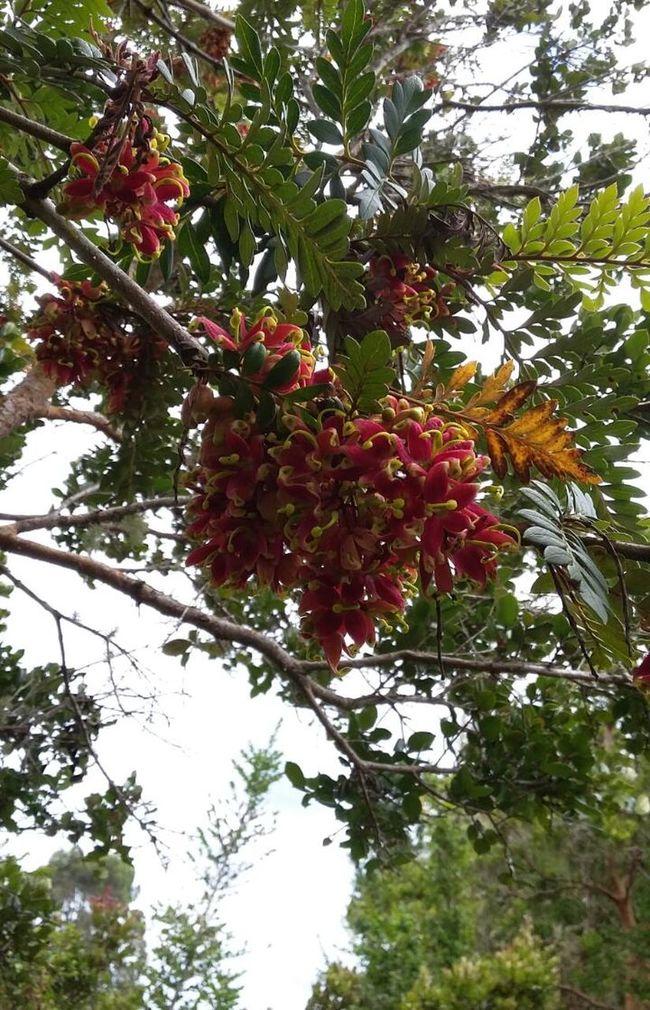 Fuinque árbol Nativo First Eyeem Photo