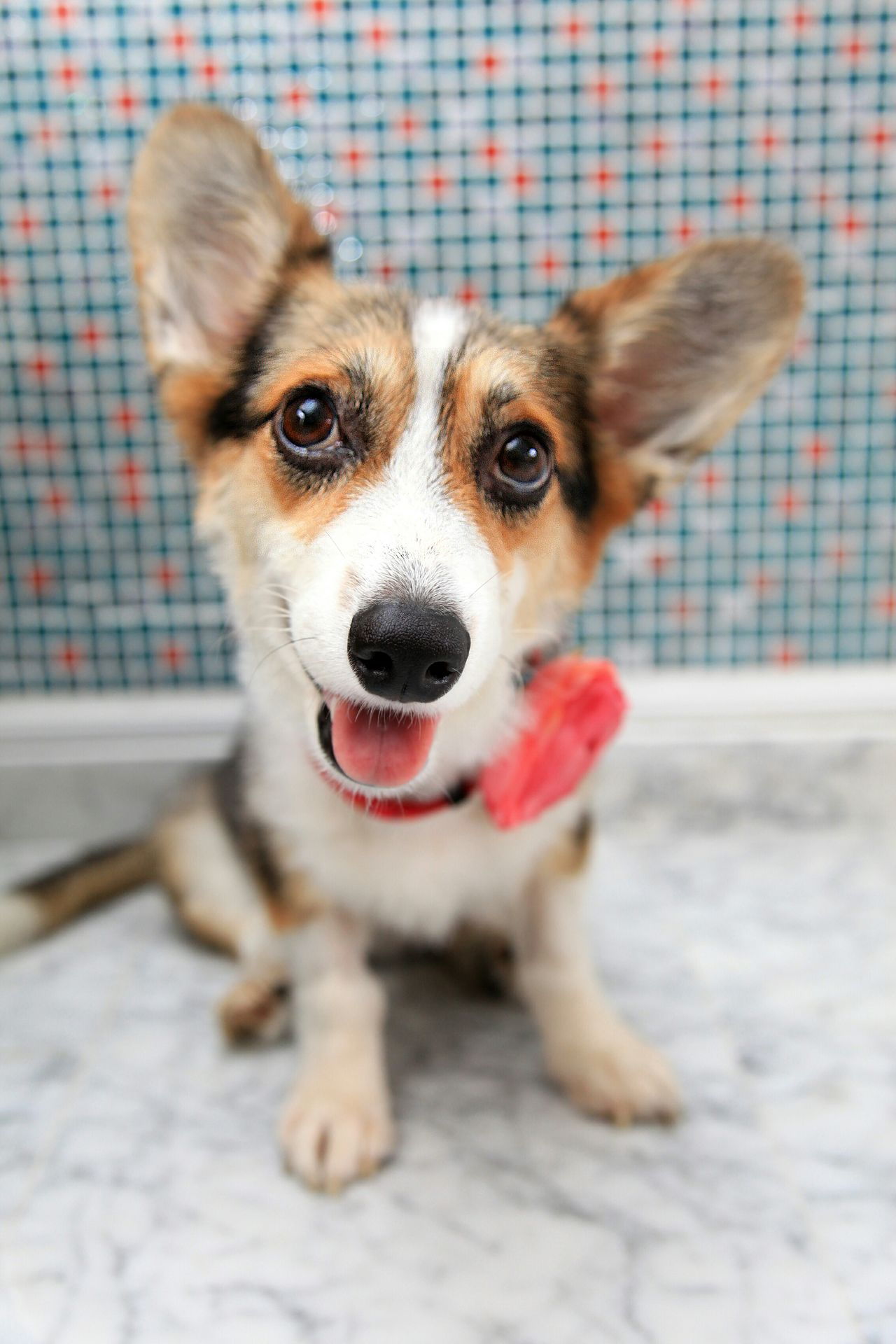 Corgi Pets Pets Corner I Love My Dog Dog Pet Pet Photography  The Portraitist - 2015 EyeEm Awards