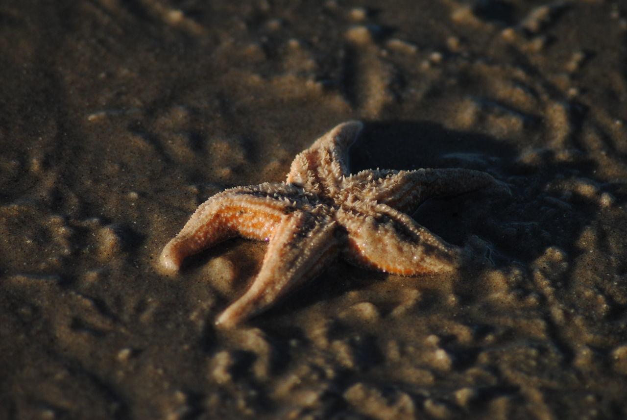 Animal Animal Themes Animal Wildlife Animals In The Wild Animals In The Wild Beach Brown Close-up Nature One Animal Sand Sea Life Starfish  Starfish At Beach Wildlife Wildlife & Nature