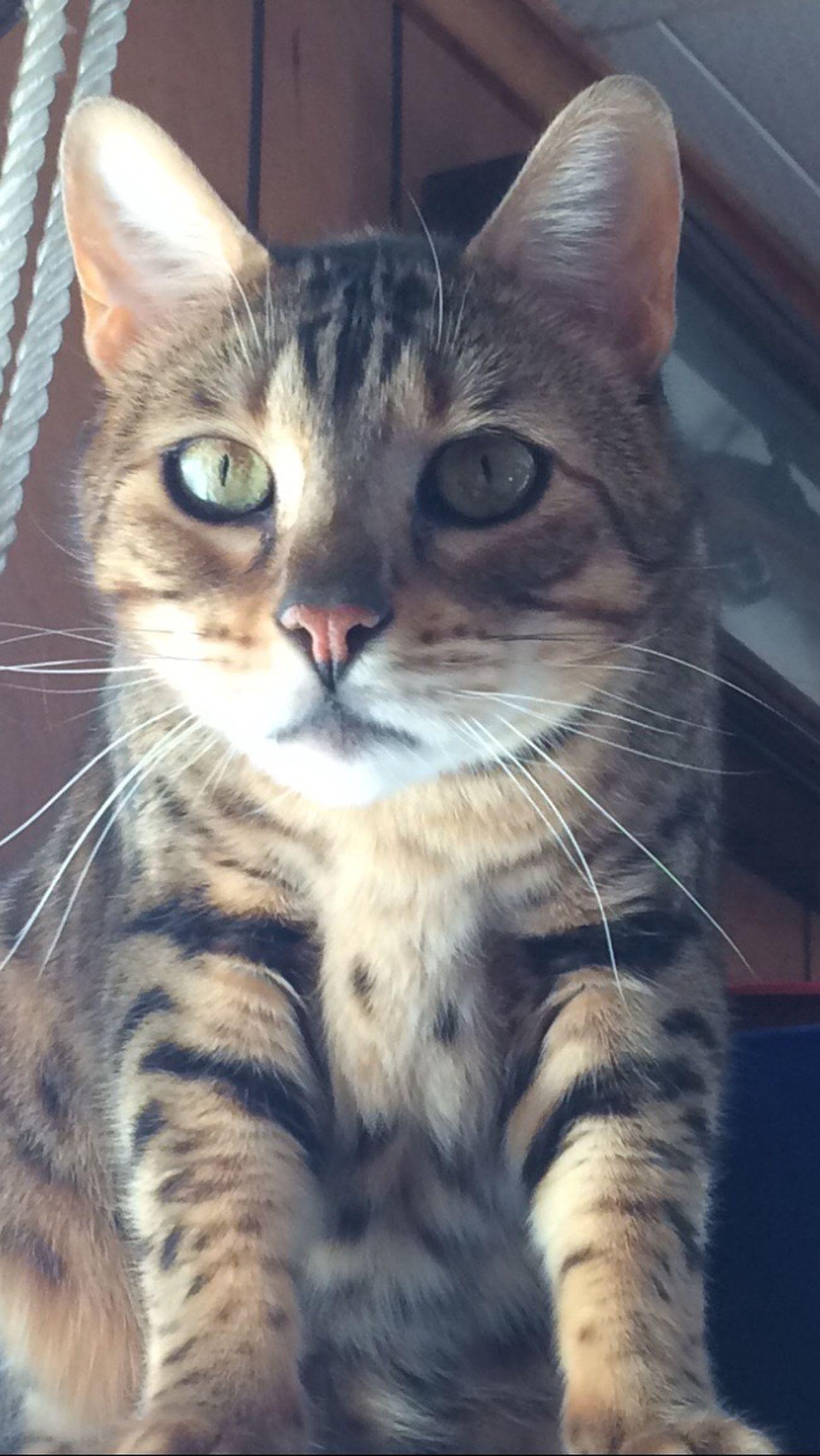 Sim 😍 Bengal Cat Eyes Likeforlike Simba Kitty Cat Pets Cat♡