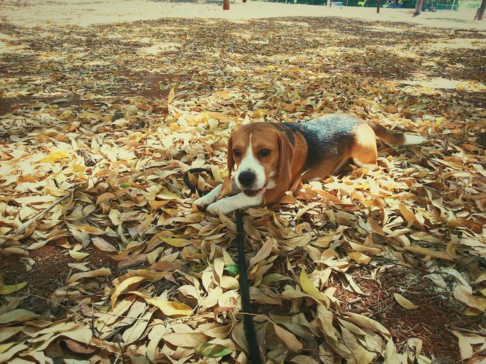 Beagle Dog Autumn🍁🍁🍁 EyeEm Beaglelovers Beagle Dog Beauty In Nature Beagles Of Eyyem Pets Domestic Animals Animal Themes Contrasts Capture The Moment Beagles Of Eyeem Wallpaper
