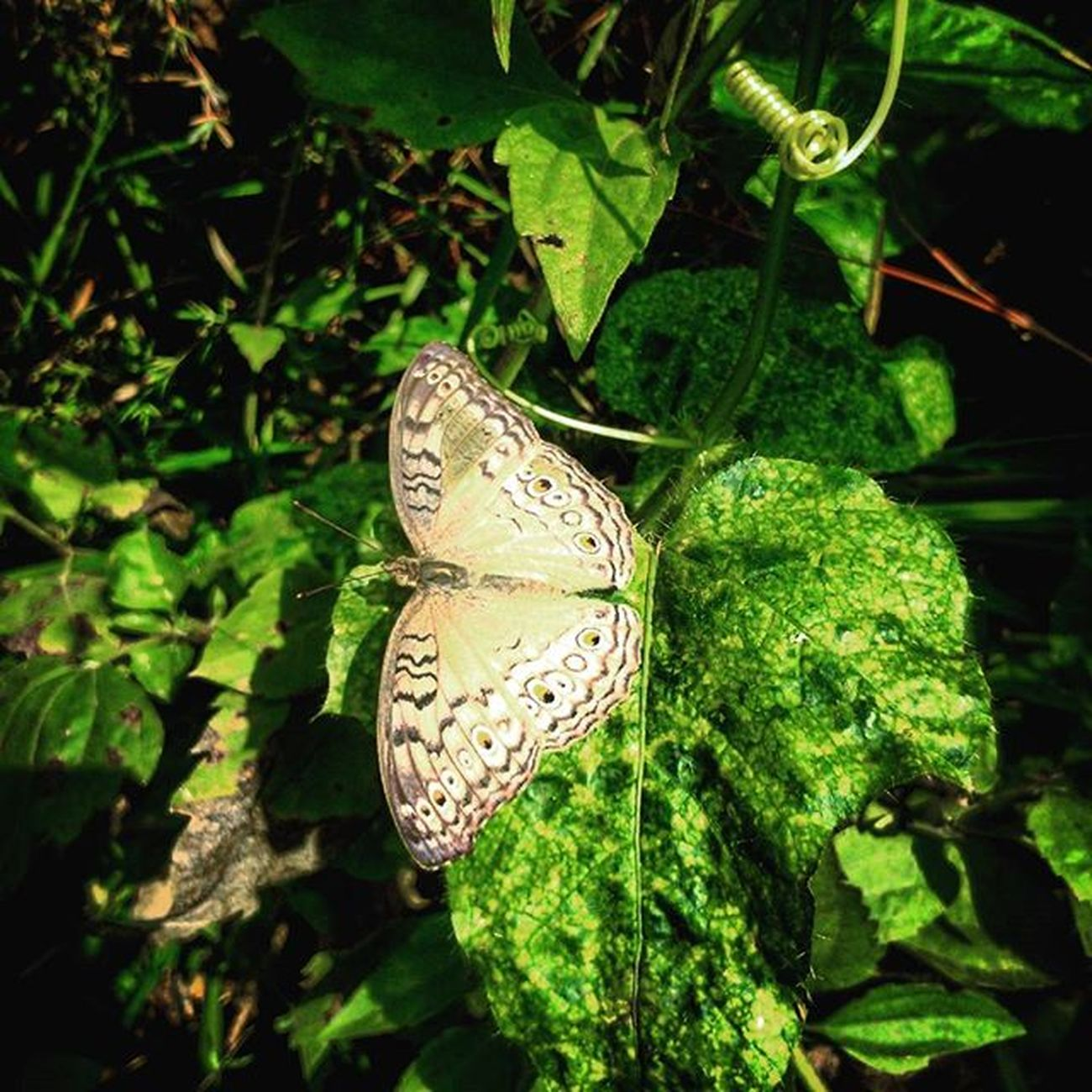 BUTTERFLY Sanpicture Grapictoolens Macrophotography Macro Macro_perfection Kupukupu Butterfly Macrovision