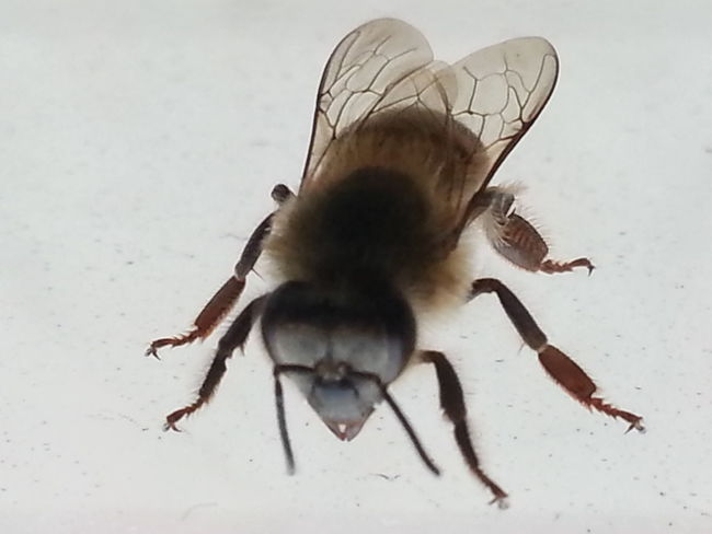 Macro Macro Photography Bee Humble-bee Beautiful ♥ From My Point Of View In My Bedroom