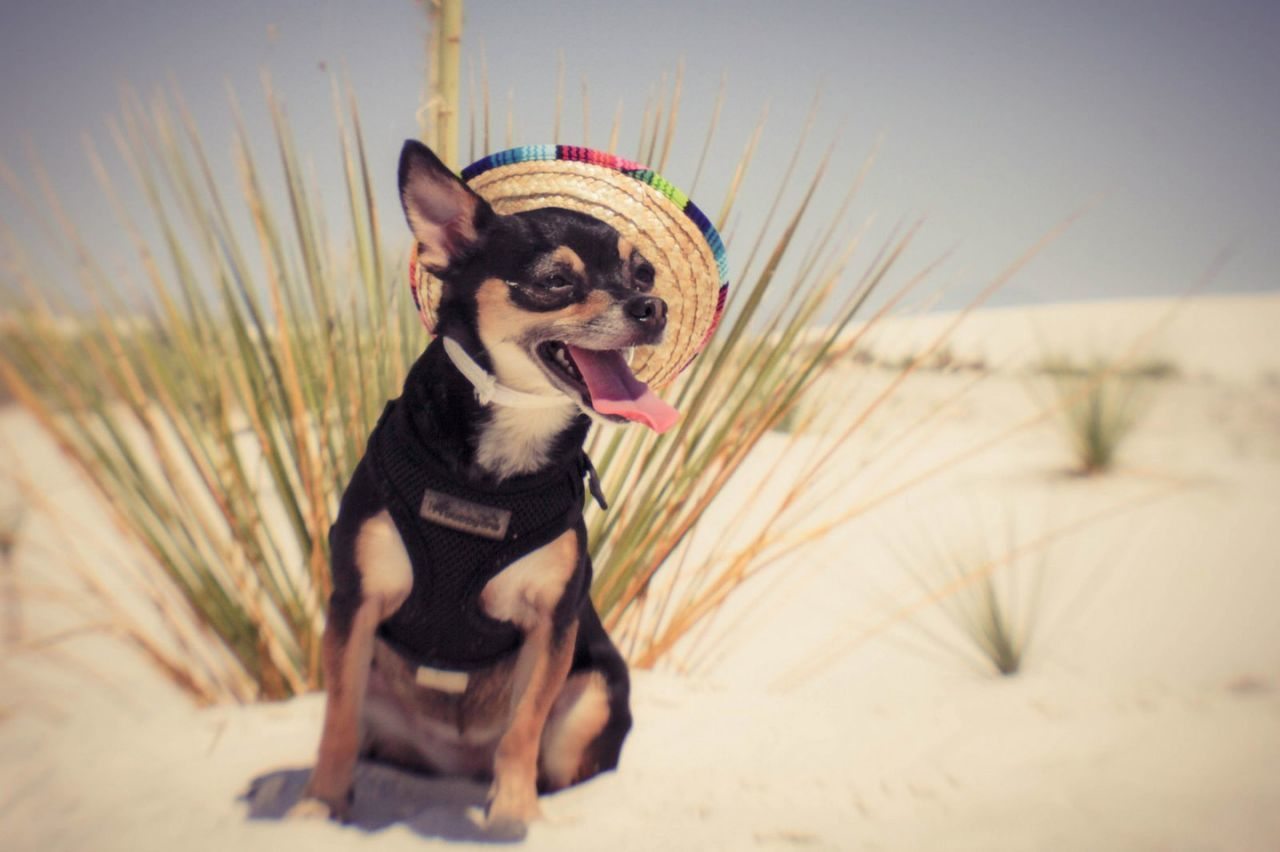 Perrita | Chihuahua Doggy Love Puppers Dog Chihuahua Love ♥ Dogoftheday Littlewoof Doggo Dogs Of EyeEm PuppyLove Barkpost Dogstagram Chihuahuaoftheday Dog Love Sombrero Desert Desert Life Perrita  White Sands National Park EyeEm Gallery EyeEmBestPics Eyeem Best Shots - Animals EyeEm Animal Lover Travel EyeEmNewHere