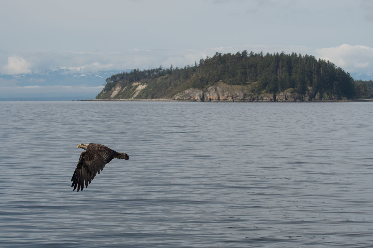 Bald eagle in canadian archipelago Animal Themes Animal Wildlife Animals In The Wild Archipelago Bald Eagle Beauty In Nature Bird Bird Of Prey Eagle Eagle - Bird Flying Great Bear Rainforest Nature One Animal Outdoors Scenics Sea Sky Spread Wings Sunshine Coast Bc Tranquility Tree Water Waterfront