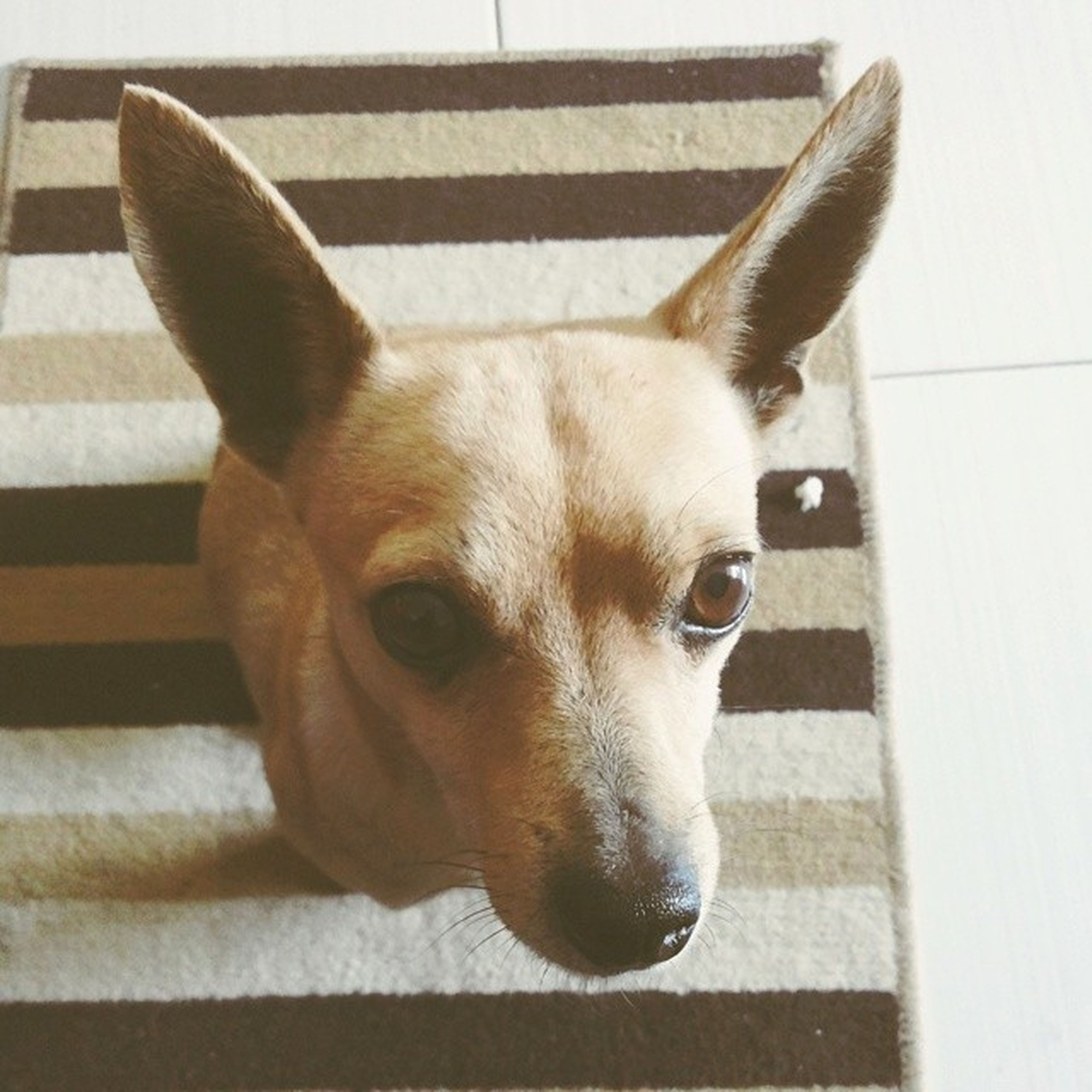 domestic animals, pets, animal themes, one animal, dog, mammal, indoors, portrait, looking at camera, animal head, close-up, animal body part, relaxation, flooring, front view, home interior, snout, no people, floor