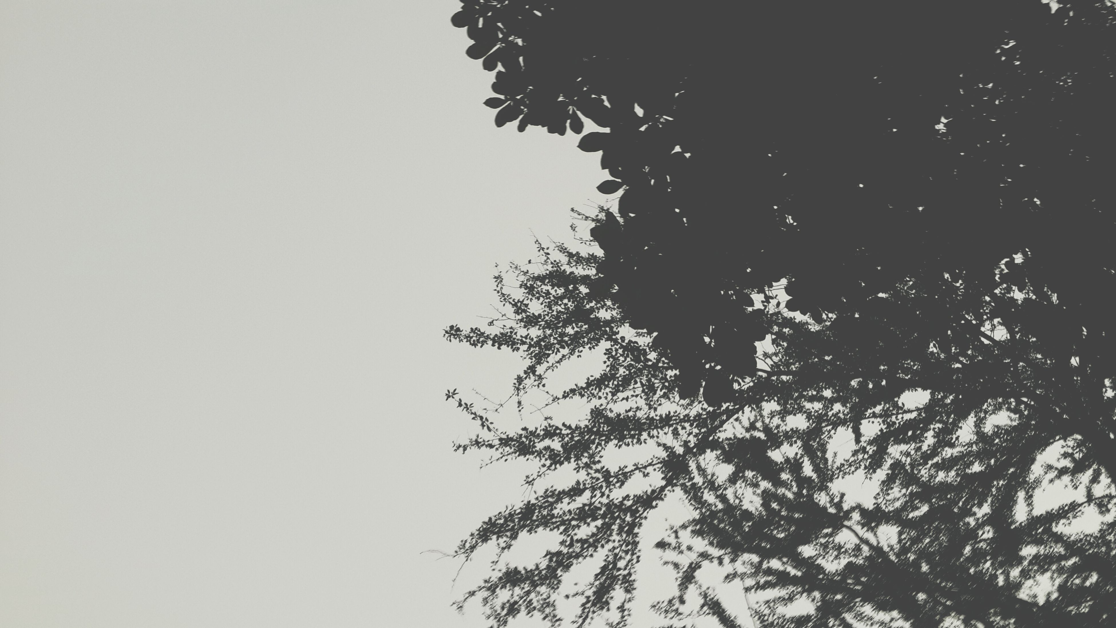 tree, low angle view, clear sky, growth, branch, nature, copy space, tranquility, beauty in nature, silhouette, sky, outdoors, no people, high section, scenics, tranquil scene, leaf, day, treetop, tree trunk