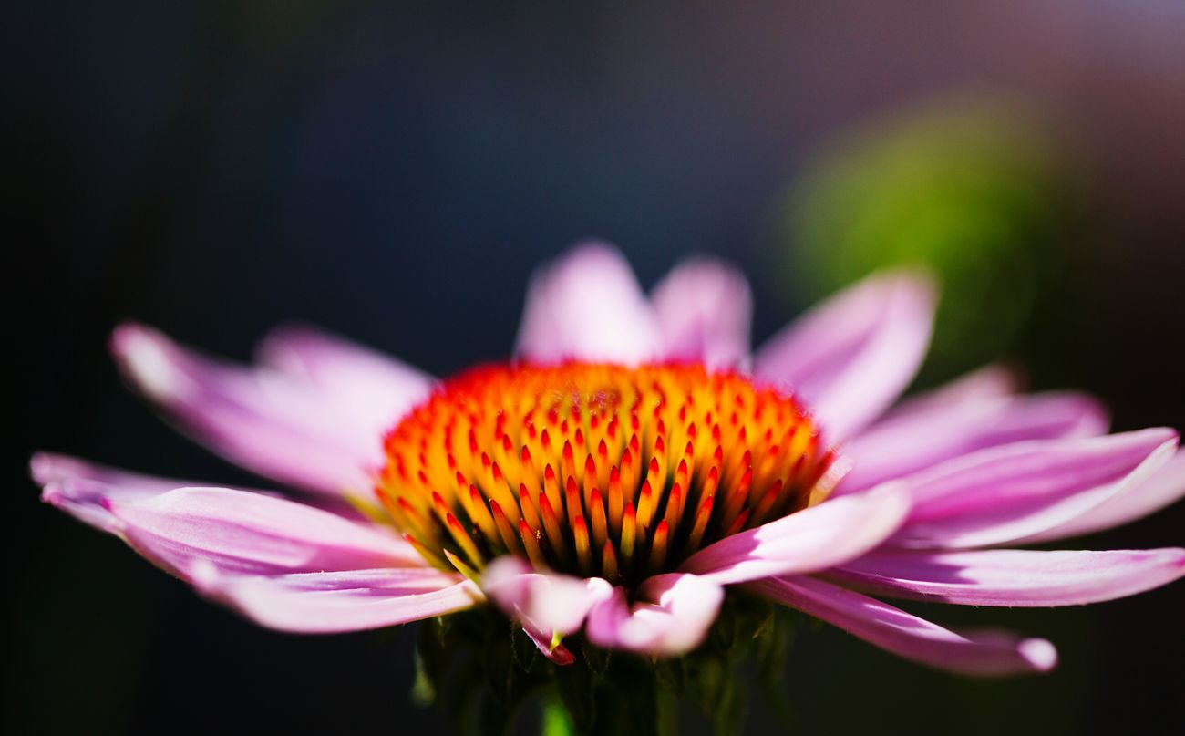 Echinacea Flower Freshness Beauty In Nature Petal Nature Flower Head In My Garden Garden Echinacea Flower Echinacea Purpurea Echinacea Day Plant Outdoors Beauty In Nature Freshness No People Nature Plant Blooming Close-up Pink Color