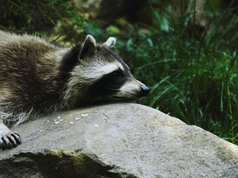 Beautiful stock photos of raccoon, Animal Themes, Animals In The Wild, Day, Forest