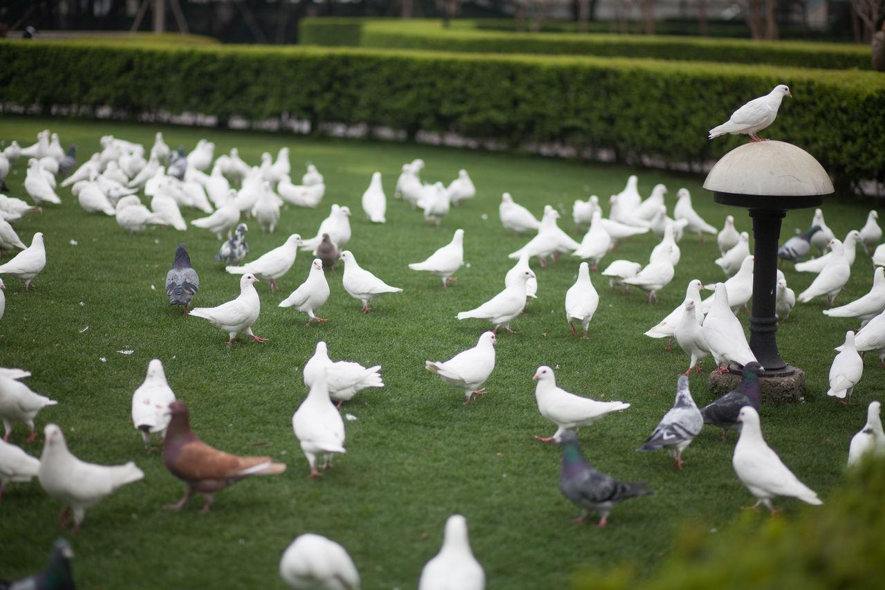 Beautiful stock photos of dove, Abundance, Animal Themes, Animals In The Wild, Bird