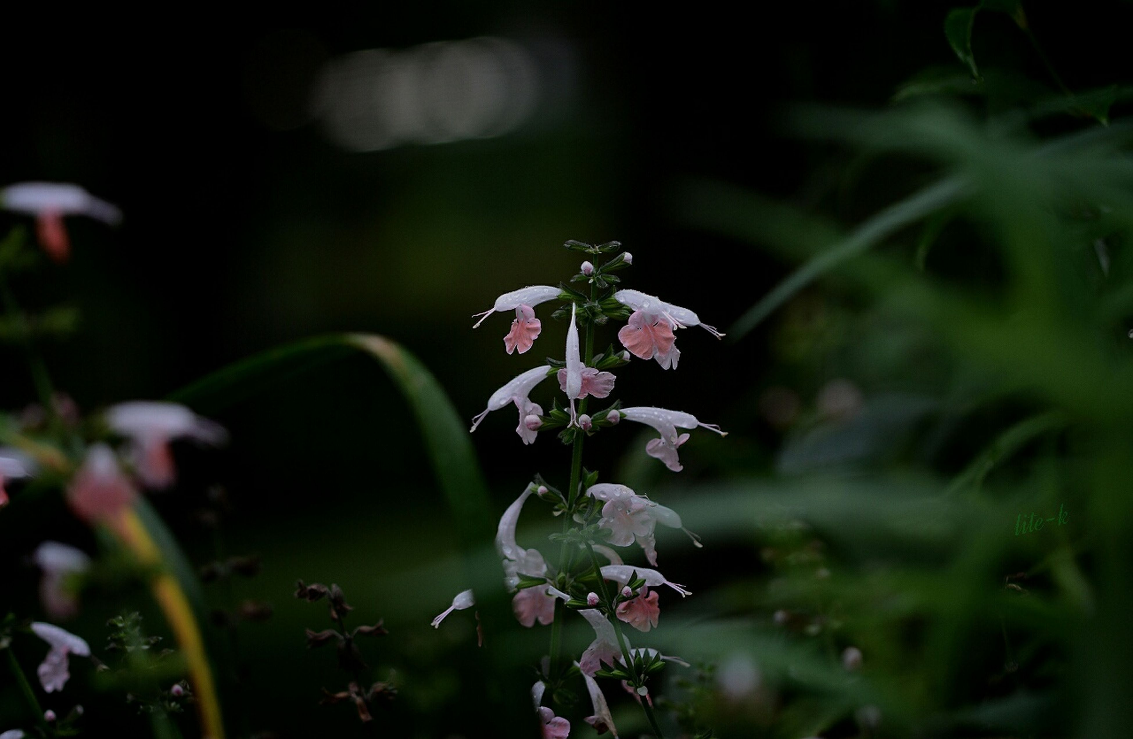 flower, freshness, growth, fragility, petal, beauty in nature, plant, focus on foreground, blooming, flower head, nature, close-up, purple, in bloom, selective focus, stem, leaf, bud, green color, outdoors