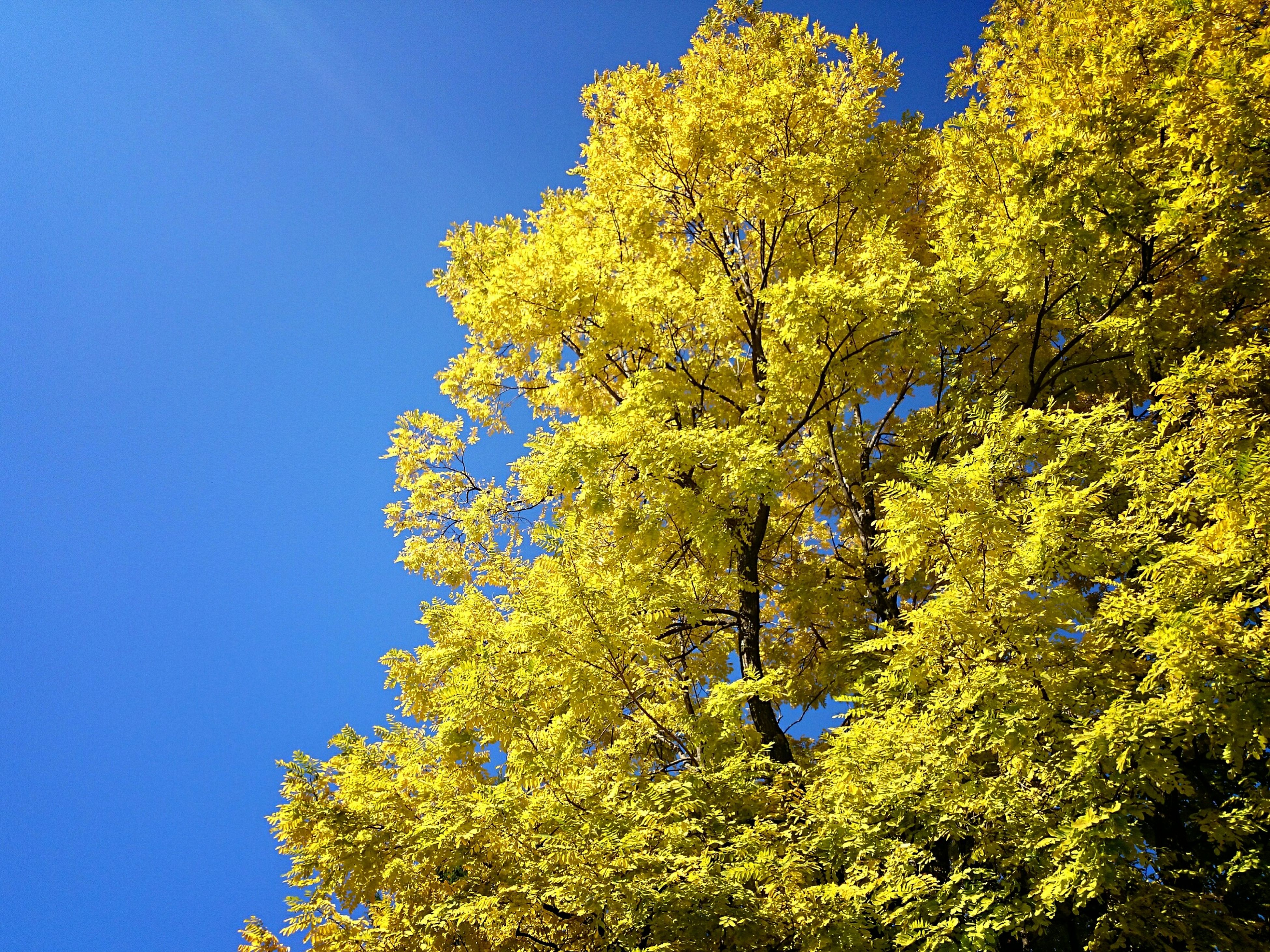 blue, clear sky, tree, low angle view, growth, nature, beauty in nature, branch, copy space, green color, sunlight, flower, tranquility, freshness, yellow, day, green, outdoors, no people, sky