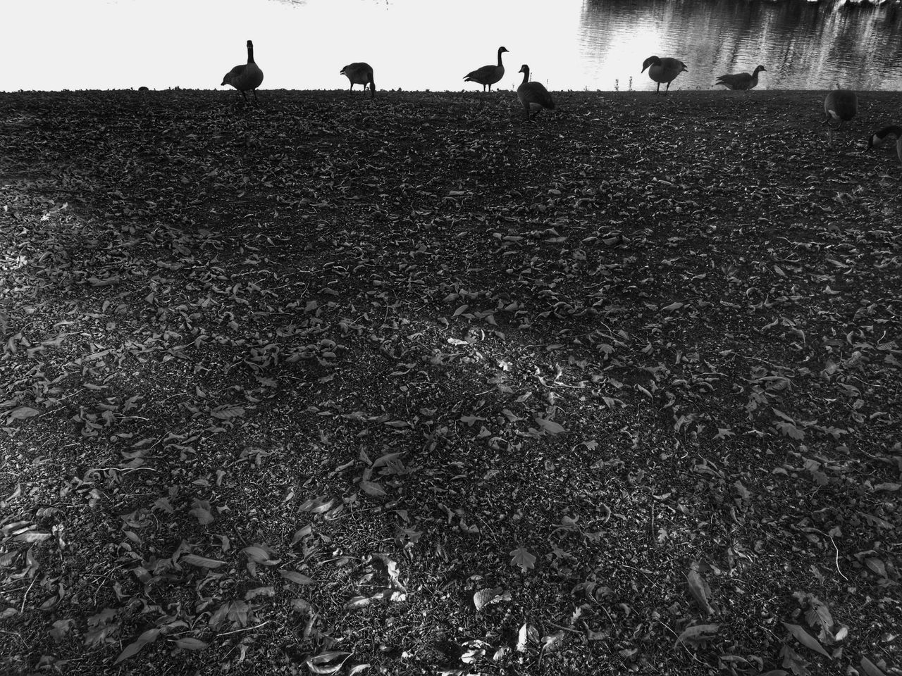 Silhouettes Simplicity Silhouette_collection Geese Photography Geese Textured  Background Texture Backgrounds Background Photography Blackandwhite Black And White Black And White Collection  Darkness And Light Silhoutte Photography Nature Naturelovers Nature On Your Doorstep Nature Landscape Nature Lovers Autumn Leaves Fall Beauty Fall Collection Panoramic Panoramic Beauty  Lake Reflection