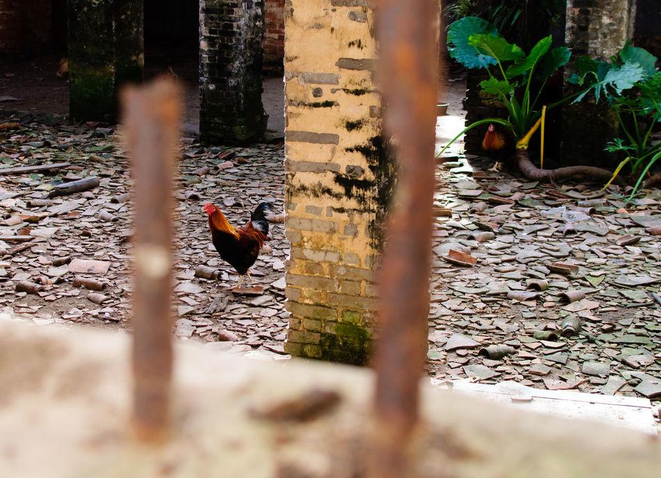 Beautiful stock photos of chicken,  Animal,  Animal Behavior,  Animal Themes,  Animals In The Wild