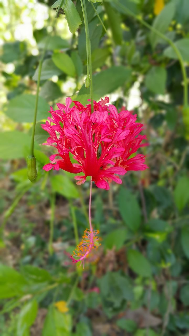 flower, fragility, nature, beauty in nature, red, growth, petal, plant, flower head, day, freshness, outdoors, no people, pink color, focus on foreground, green color, close-up, blooming
