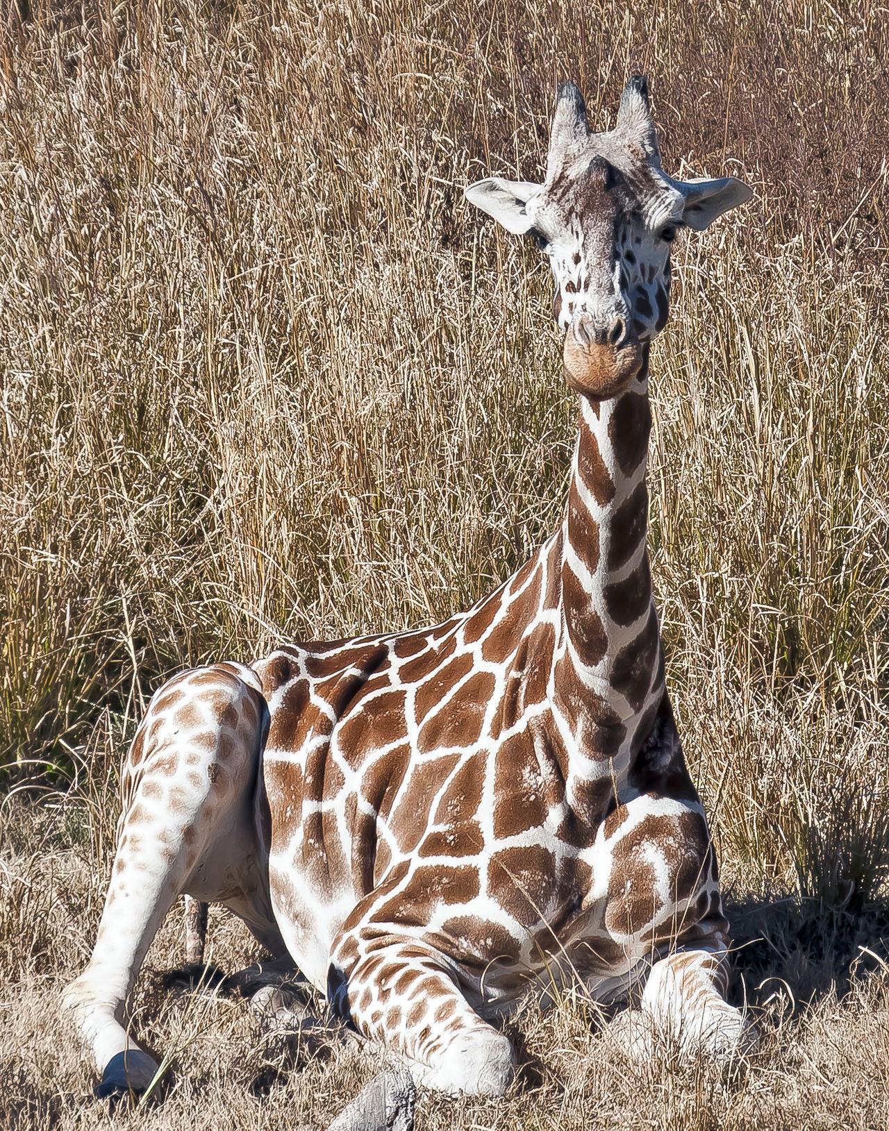 Animal Markings Animal Themes Animal Wildlife Animals In The Wild Giraffe♥ Nature One Animal Outdoors