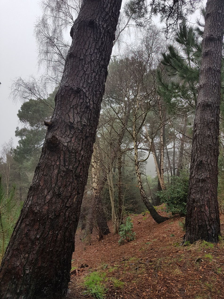 Woodland Scene Pine Trees Silver Birch Trees Winter Woodland Woodland Hillside Wet Woodland Leaf Carpet Leaning Pine Trees No People Forest Tranquil Scene EyeEmNewHere Samsung Galaxy S7