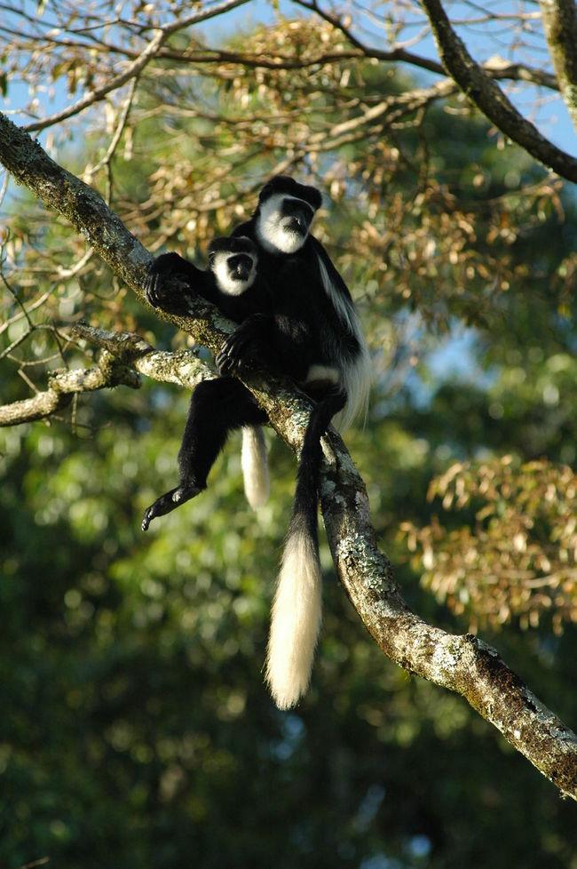 Black And White Colobus Monkey Mother And Baby Monkeys Climbing Rainforest Africa Uganda  Attachment Motherlove Nature Biodiversity Conservation Mammals Wildlife Kibale Nationalpark