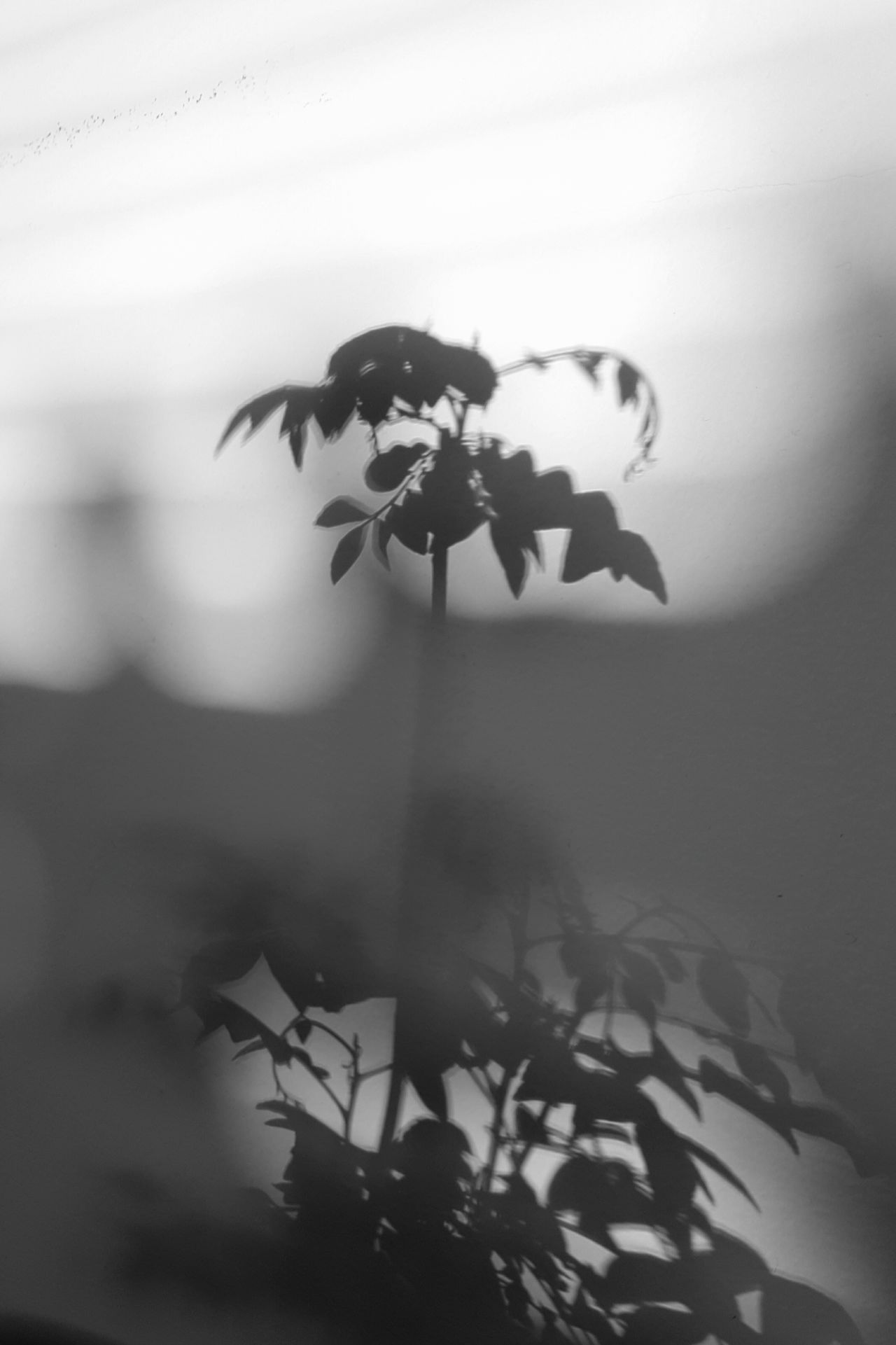 Reflection Silhouette Sunlight Curry Plant House Plant Sunlight Shadow Leaves Abstract Plant Evening Light Soft Light Slow Living Black And White