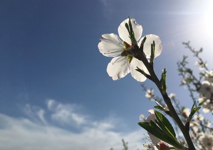 White Color Flower Growth Nature Sky Beauty In Nature Fragility Freshness Petal Low Angle View Twig Apple Blossom Close-up Flower Head Blossom Springtime Tree Apple Tree Cloud - Sky Fruit Tree