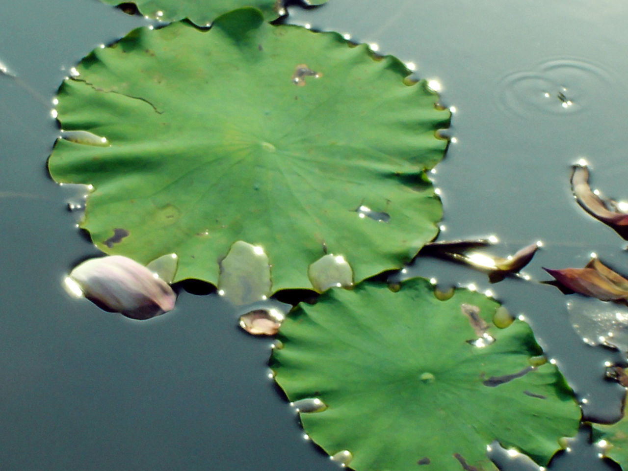 leaf, water, nature, beauty in nature, growth, close-up, drop, green color, no people, plant, freshness, outdoors, lily pad, day, fragility