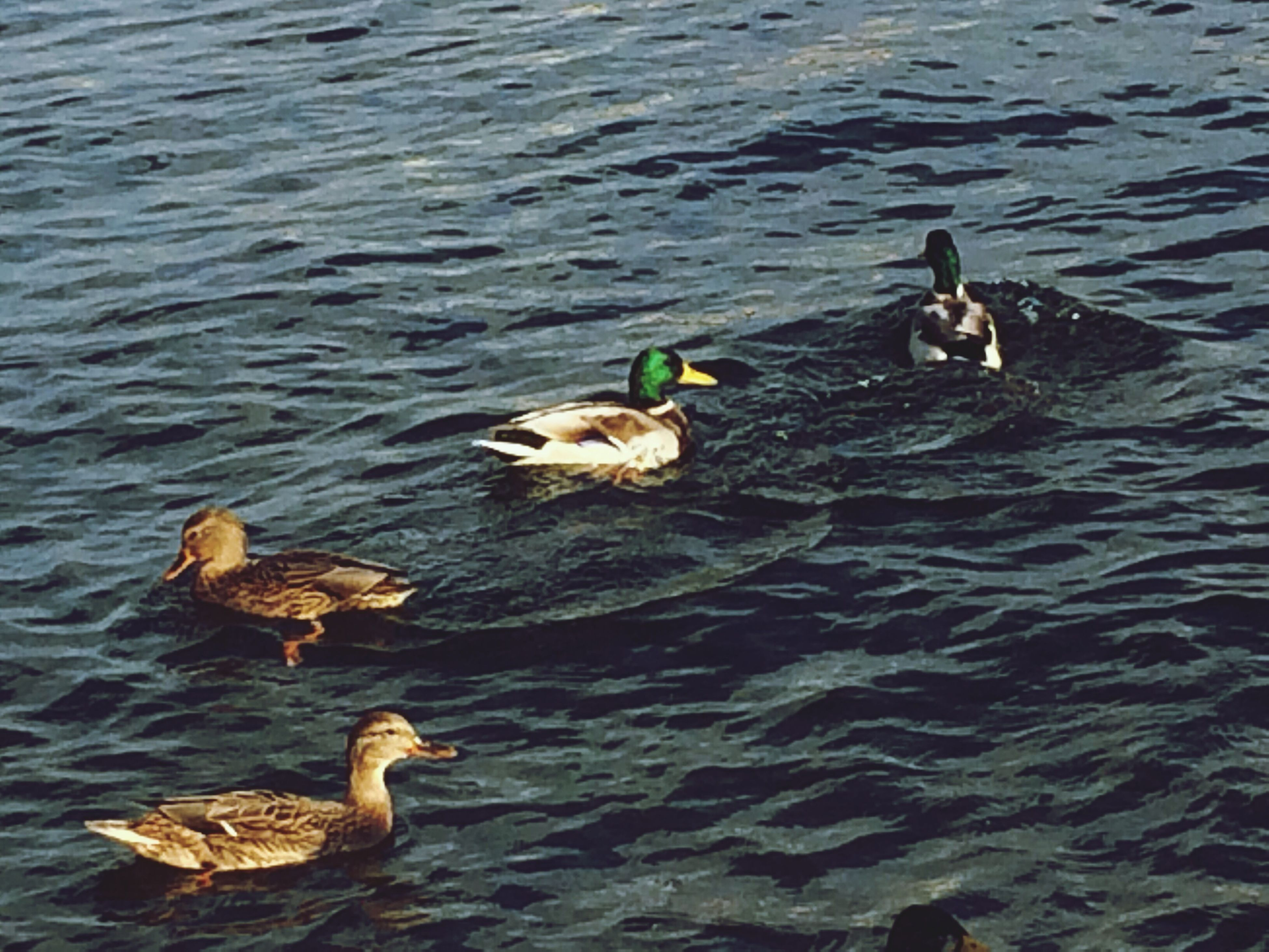 animal themes, water, bird, animals in the wild, duck, swimming, wildlife, rippled, waterfront, lake, high angle view, two animals, nature, medium group of animals, three animals, togetherness, floating on water, outdoors, day, no people