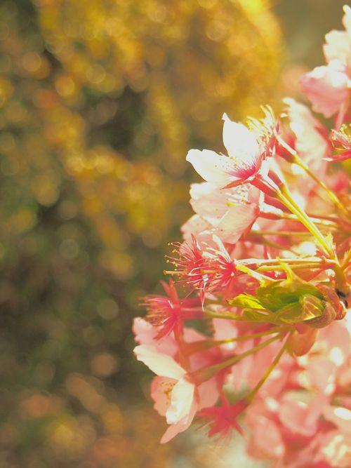 はじめましての桜 桜 4月 はじめまして Cherry Blossoms First Eyeem Photo