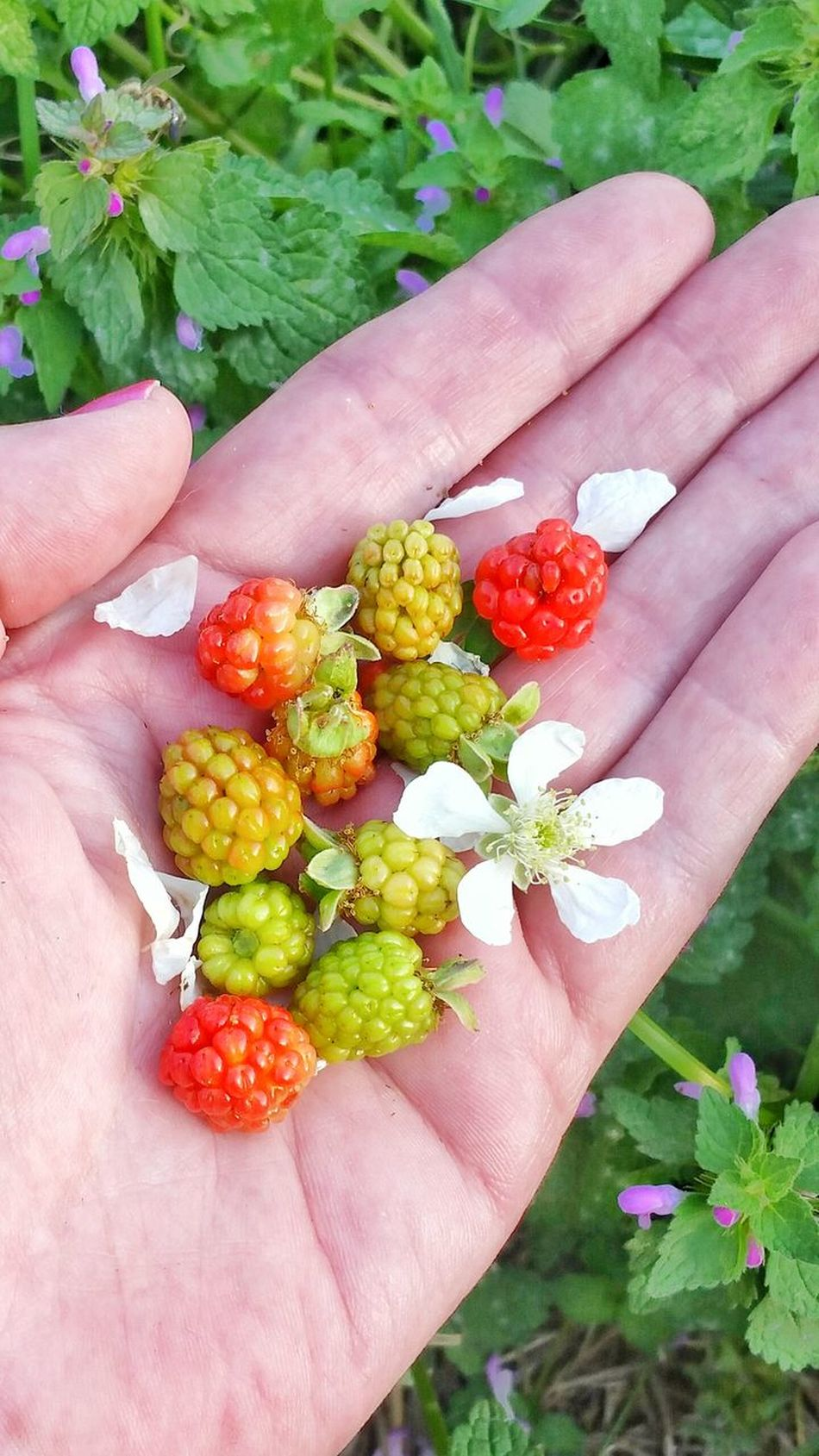 Human Hand Multi Colored Flower Holding Close-up Nature People Freshness Food Outdoors Women Fruit Lifestyles Flower Head Adult Berry Fruit Variation Unripe Palm Healthy Eating Wild Blackberries Dew Berries Blackberry Backgrounds Room For Text Break The Mold TCPM