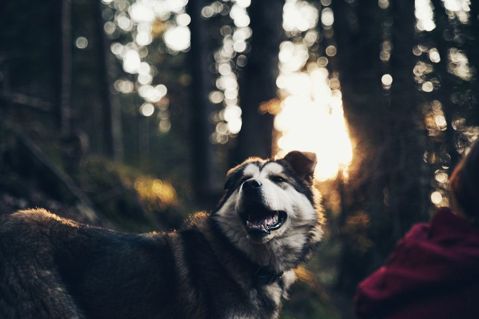 Animal Animal Themes Close-up Dog Dog Love Dogs Dogs Of EyeEm Domestic Animals EyeEm Best Shots EyeEm Nature Lover Friendship Husky Illuminated Malamute Mammal Mouth Open Nature Nature_collection One Animal Outdoors Pets Sunbeam Sunlight Sunset Sunset_collection