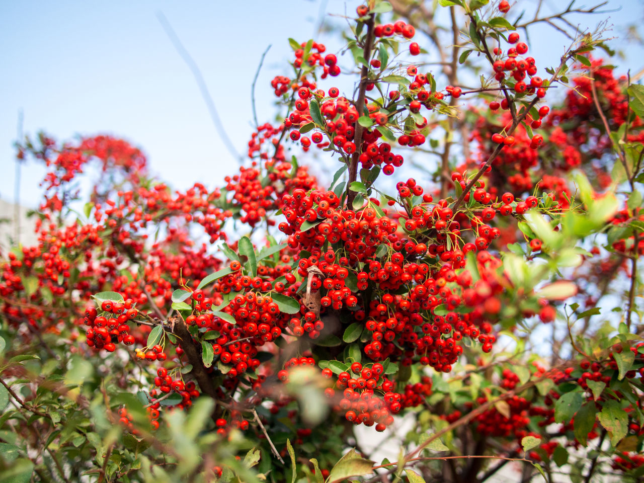 Beauty In Nature Bokeh Photography Branch Close-up Crimea,Russia Day Freshness Gawlet Growth Low Angle View Nature No People Outdoors Red Rowanberry Sevastopol  Tree