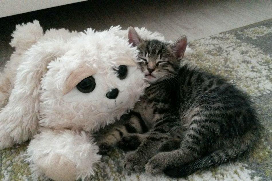 Tomcat Samy Crazy Kitty