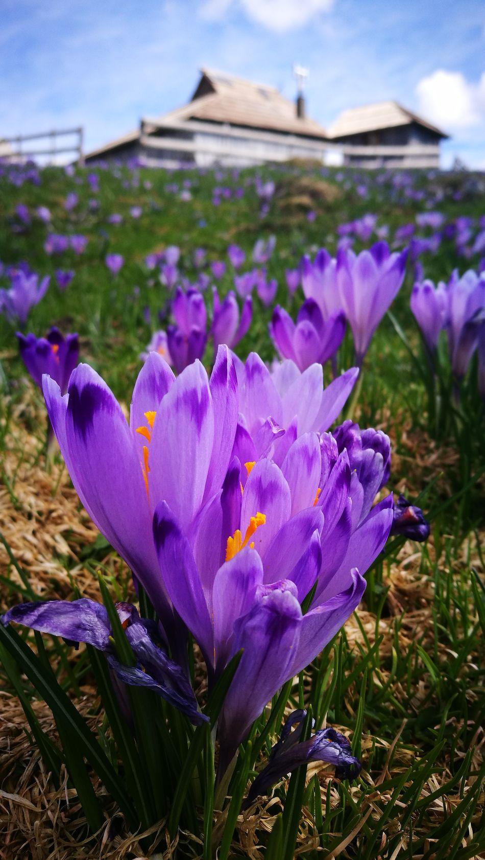 Flower Beauty In Nature Nature Crocus Crocus flavus #wildflowers #guadarrama #primavera #spring #flores nature mountain Velika Planina Slovenia Slovenian Alps