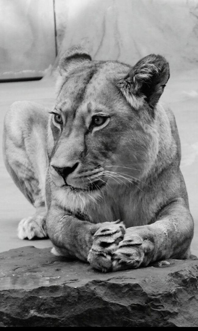 Leonessa Lioness Principessa Princess Nature Natura Animals Animale