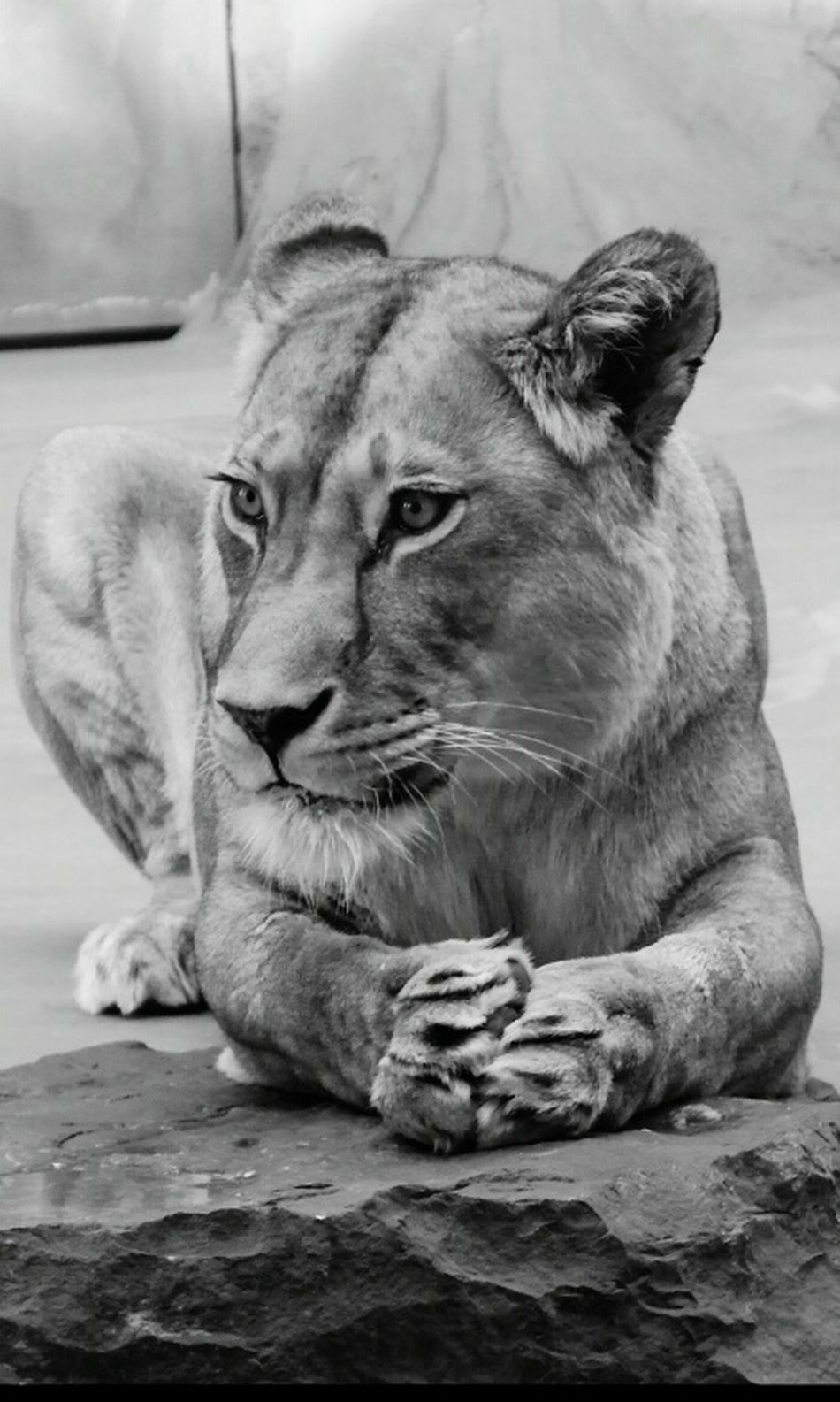 Leonessa Lioness Principessa Princess Nature Natura Animals Animale