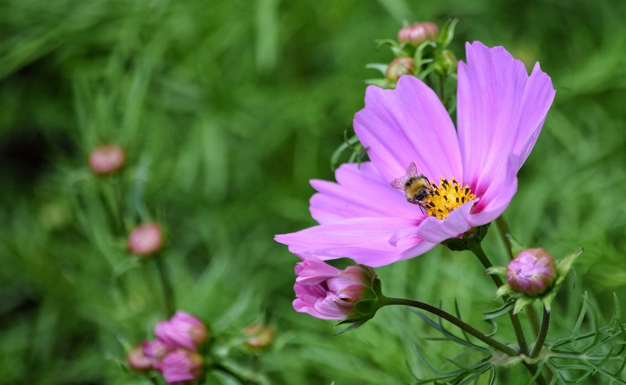Bumblebee Freshness Insect Flower Pink Color Nature No People Bee Petal Fragility Outdoors Purple Pollination Flower Head Freshness Growth Vibrant Colour Buzzing Hovering Wings Close-up One Insect Summertime Beauty In Nature