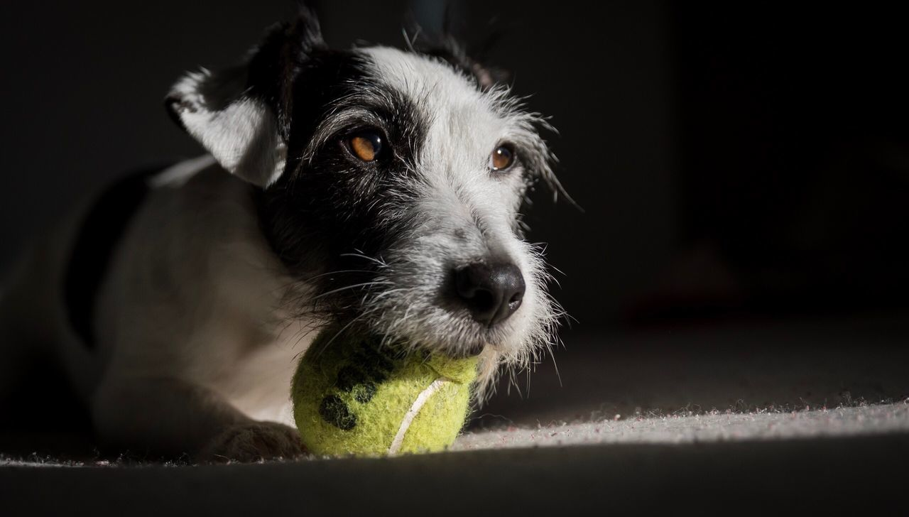 Little ray of light Pets Dog Domestic Animals One Animal Mammal Animal Themes Looking At Camera Portrait Black Color Indoors  No People Close-up Tennis Ball Day Cute Pets Dogs Pet Photography  Dogs Of EyeEm Jackrussell Creative Light And Shadow