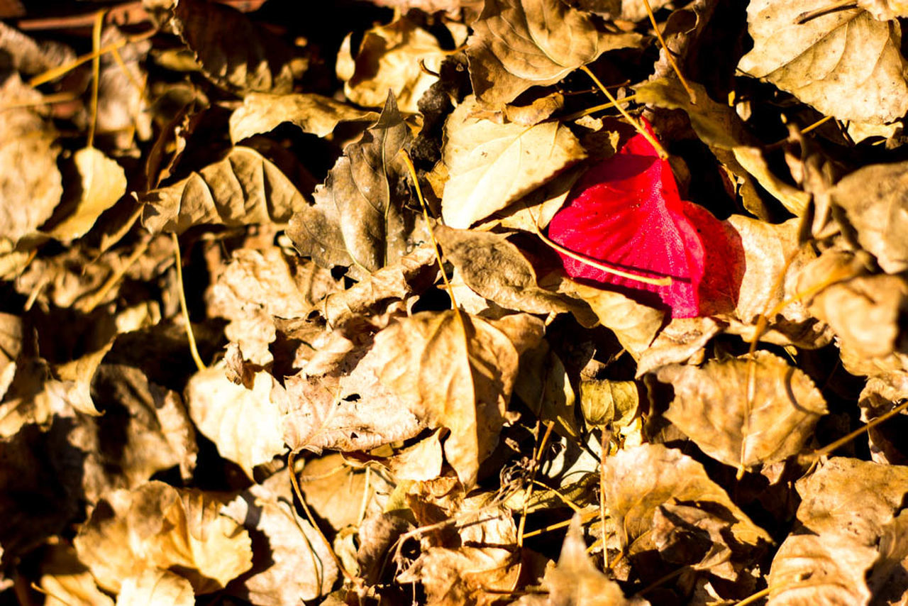 leaf, autumn, change, dry, nature, no people, outdoors, day, red, maple leaf, fragility, beauty in nature, close-up, maple