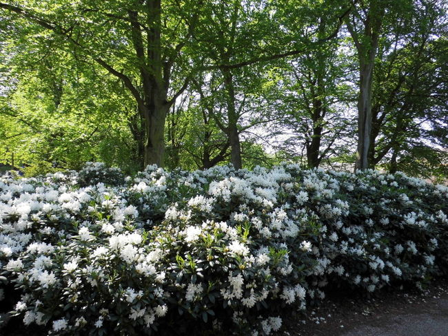 Beauty In Nature Blooming Blossom Day Flower Fragility Freshness Green Color Growing Growth Idyllic In Bloom Lush Foliage Nature No People Outdoors Paleistuin Denhaag Petal Plant Scenics Tranquil Scene Tranquility Tree Trunk White White Color