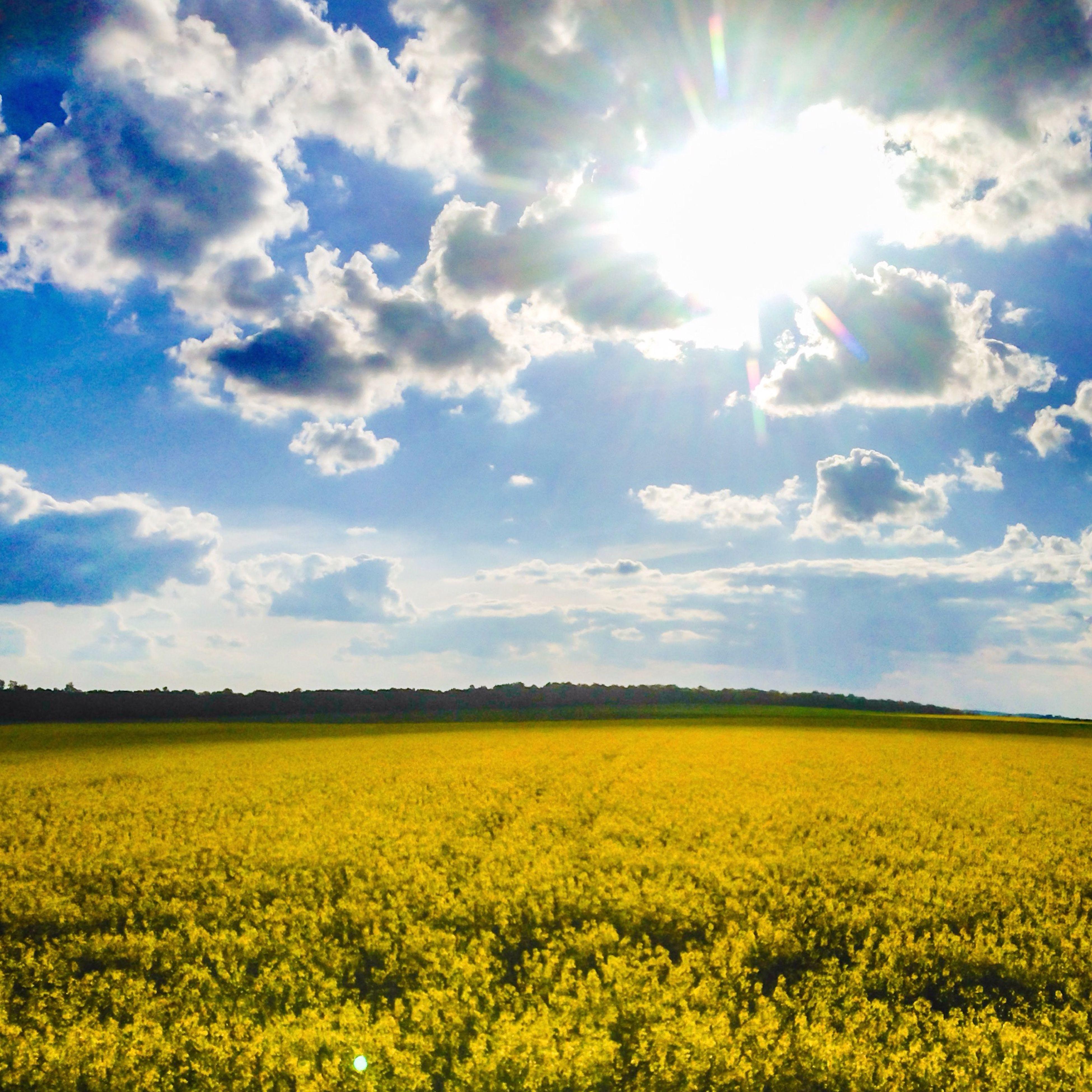 flower, yellow, field, rural scene, beauty in nature, agriculture, growth, landscape, sky, tranquil scene, freshness, nature, farm, scenics, tranquility, oilseed rape, crop, abundance, sunlight, cloud - sky
