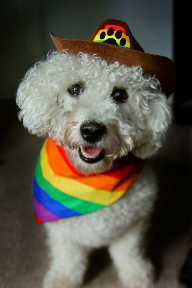 Dog Cute Rainbows Cowboy Cowdog Happy Pride Unique Fun Joy White Dog Fluffy Pets Dog Clothes Dog Outfit Bichonfrise Colors And Patterns